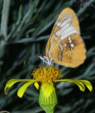 Common Mestra on Groundsel Flower