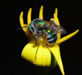 green metallic sweat bee