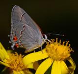 Grey Hairstreak on Groundsel flower