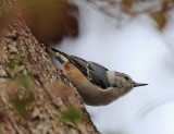 White Breasted Nuthatch visiting the back yard in Midland Tx.
