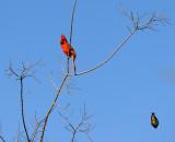 Cardinal and dive bomber