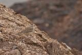 Famille Motacillidae-Bergeronnettes et pipits