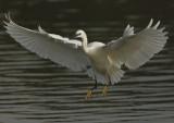 Little Egret Conwy RSPB