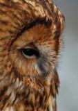 Tawny Owl  Wales