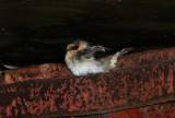 Hirondelles à front brun (Cave Swallows), Isle-aux-Coudres, Quebec, 13 novembre 2012