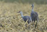 Sandhill Cranes  0313-4j  Marion Drain