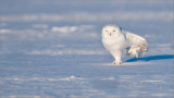 Snowy Owl passing a little Gas!