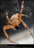 Garden spider (Korsedderkop / Araneus diadematus)