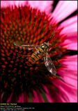 Marmelade Fly (Dobbeltbåndet svirreflue / Episyrphus balteatus)