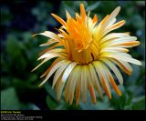 Pot Marigold (Have-Morgenfrue / Calendula officinalis)