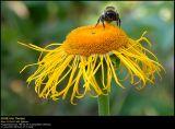 Bumblebee (Humlebi / Bombus terrestris)