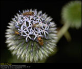 Schrader Blue Globe-Thistle (Blå Tidselkugle / Echinops bannaticus)