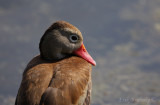 Black-bellied Whistling Duck up close