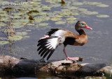 Black-bellied Whistling Duck with a big stretch