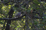 Common Ground-dove