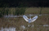 Great Egret coming in for a landing!