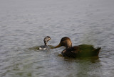 Least Grebe and Mottle Duck