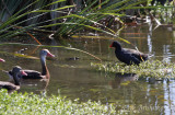Common Moorhen and Black-bellied Whistling Duck