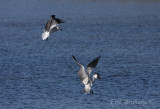 Laughing Gull and Caspian Tern