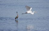 Reddish Egret in the background and Great Egret flying by