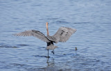 Reddish Egret going Canopy Fishing