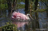 Roseate Spoonbill splashing around