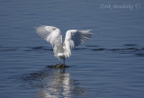 Snowy Egret going canopy fishing!