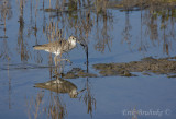 Willet walking along