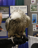 Gyrfalcon in the main building
