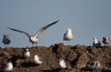 Ring-billed Gull with the Laughing Gulls