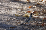 Black crowned Titmouse