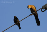 Bronzed Cowbird and Great-tailed Grackle