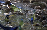Green Jays bathing