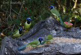 Green Jays, enjoying some food