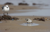 Sanderling and Laughting Gull