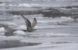 Thayer's Gull