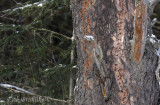 See the peeled-off bark? Black-backed and/or Three-toed Woodpeckers have been here!