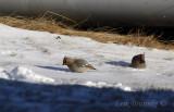 Bohemian Waxwings eating snow