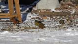 Hoary Redpoll, Common Redpoll, Red Crossbills