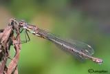 Chalcolestes viridis female