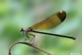 Calopteryx haemorrhoidalis female
