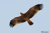 Aquila imperiale -Imperial Eagle (Aquila heliaca)