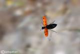 Meloidae sp.