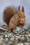 Red squirrel -  (Sciurus vulgaris)