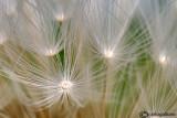 Fantasy on dandelion