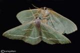Hylaea fasciaria on the mirror