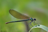 Calopteryx splendens female