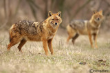 Sciacallo dorato -Golden jackal (Canis aureus) Male and Female