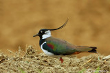 Pavoncella-Northern Lapwing (Vanellus vanellus)
