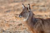 Waterbuck, African Antelope